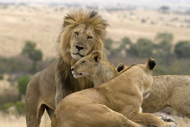 GPS collars may save some lions in Zimbabwe